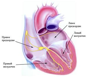 Физиология сердечной мышцы