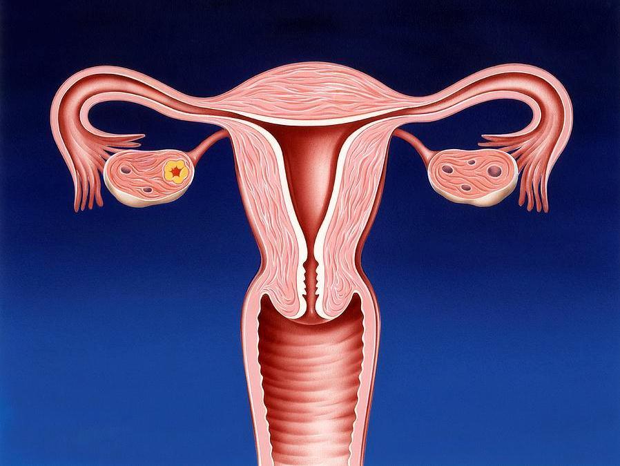 Схема матки и цервикального канала